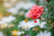 Orange Rose Blooming Of Bush I...
