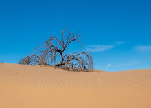 A Dead Blue Palo Verede Tree, Half Buried In Sand At The Imperial Sand Dunes In The Sonoran Desert Of California, USA