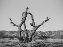 Crooked Tree In The Desert Lan...