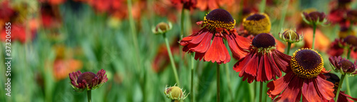 Obraz Closeup of cheerful red flowers of Sneezeweed blooming in a garden as a nature background  - fototapety do salonu