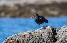 """A Black Oyster Catcher """" Haematopus Bachmani """"  Searches For Food In Tidal Pools."""