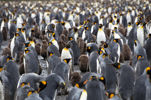 Fotografiet A King Penguin (Aptenodytes patagonicus) colony on a pebble beach on the island of South Georgia