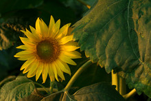 Beautiful Sunflower Head And Its Stem With Leaves, At Sunset. Ray Flowers, Unopened And Opened Disk Florets In A Female Phase. Pollen Is Released By The Anthers Of The Disk Florets.