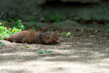 Common Dwarf Mongoose (Helogale Parvula) At The Osaka Zoo In Japan