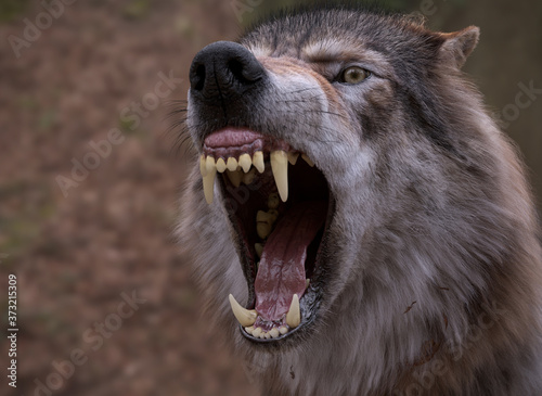 Cuadros en Lienzo Angry  Wolf yawning and showing big jaw, Blur background