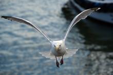 The European Herring Gull Is A...