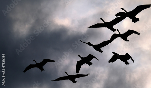 Foto Wild geese in flight over lake in the UK.