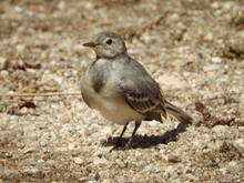 Selective Focus Closeup Shot Of A Bird Called Cape Wagtail Perched On The Ground During A Sunny Day