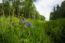 European Wild And Uncommon Plants Beautiful Siberian Iris, Iris Sibirica Floweing In Estonian Nature, Northern Europe.