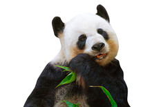 Isolated Giant Panda Bear Eati...