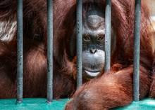 Portrait Orangutan Monkey Behi...