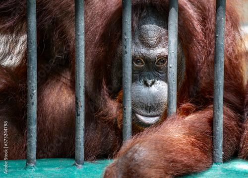 Portrait Orangutan monkey behind zoo bars or Orangutan in cage, Orangutan looking at camera Canvas Print