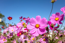 Pink Cosmos Flowers Farm