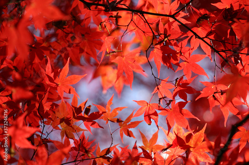 Photo Japanese acer leaves turning red during the autumn