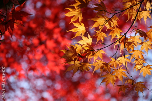 Japanese acer leaves turning red and yellow during the autumn Canvas Print