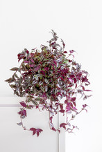 Bright Living Room With Purple And Green Houseplant Wandering Jew,Tradescantia Zebrina