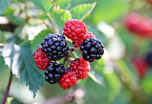 Soft Focus Of Fresh Blackberri...