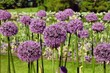 canvas print picture - Allium 'purple sensation' flowering on a sunny May day, England, UK
