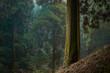 Leinwanddruck Bild - 静かな針葉樹の森。林業のイメージ。
