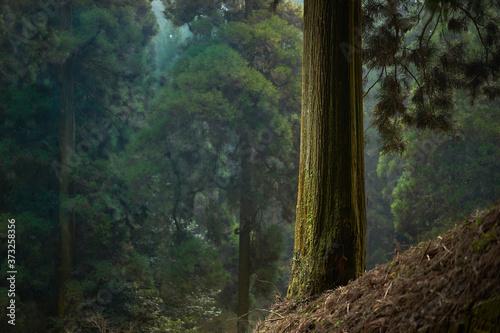 Fotografía 静かな針葉樹の森。林業のイメージ。