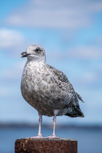 Portrait Of Young Silver Seagull Perfectly Standing On Pole In The Local Marina In Mudeford Bay, Close Capture Of Bird With Blurred Background And Focus On Sea Gull Making Eye Contact, Sunny Day And