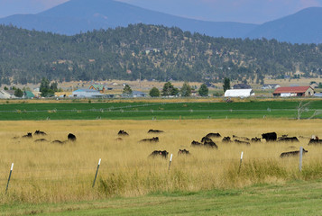 Cattle in a valley pasture with outliers and moutains as backdrop.