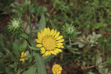 Closeup Image Of Gumweed Grindelia In An Organic Garden. Grindelia Has A Calming Effect It Useful In The Natural Treatment Of Asthma And Bronchial Conditions. Nature Concept.