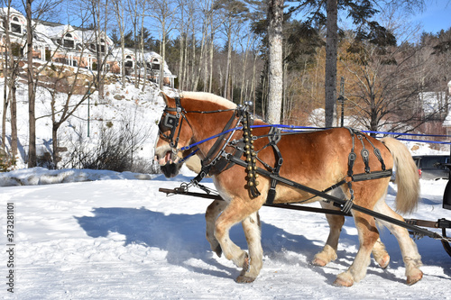 Pulling Pair of Chestnut Percheron Horses in the Winter Canvas Print