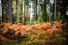 Herbstliche Farne Im Wald