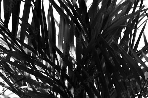 Palma areka - abstrakcyjna grafika