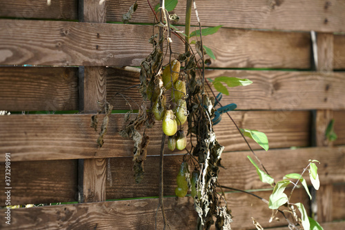 Fotomural Closeup of dried green tomatoes with leaves hanging from a wooden fence under th