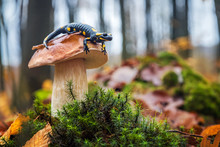 Lovely Spotted Fire Salamander...