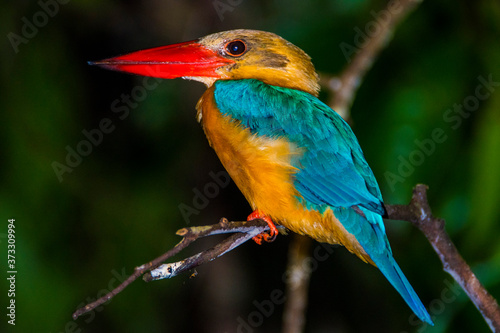 Stork-billed Kingfisher Pelargopsis capensis sitting on a branch along Kinabatan Canvas Print