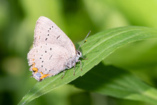 An Acadian Hairstreak (Satyrium Acadica) Butterfly Perches On A Leaf At Toronto's Taylor Creek Park.