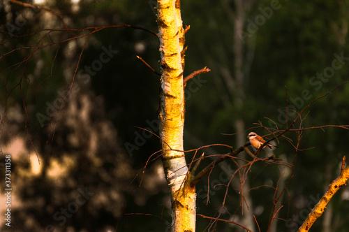 gąsiorek na gałęzi brzozy - 373311358