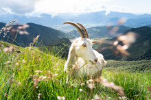 White Billy Goat With Long Hor...