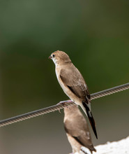 A Pair Of Indian Silverbill Resting On A Wire In The Outskirts Of Bangalore