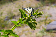 Beautiful Swallowtail Butterfly In The Wild (3)