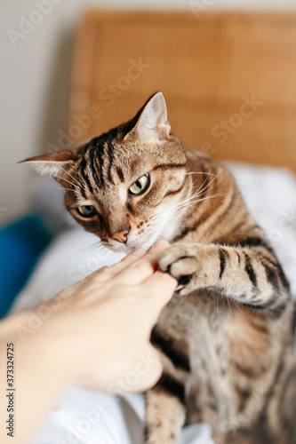 Canvas Print Beautiful tabby pet cat sniffing human hand palm