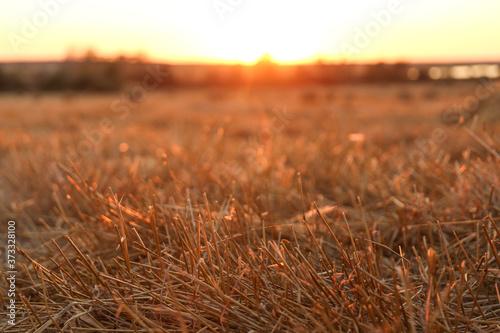 Cuadros en Lienzo cut ears of wheat on the field
