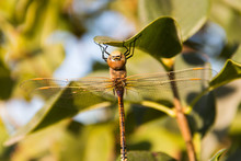 Insect Dragonfly On A Tree Branch On A Green And Blue Background Close Up