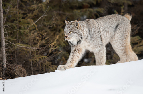 Canadian lynx in the wild Fototapeta