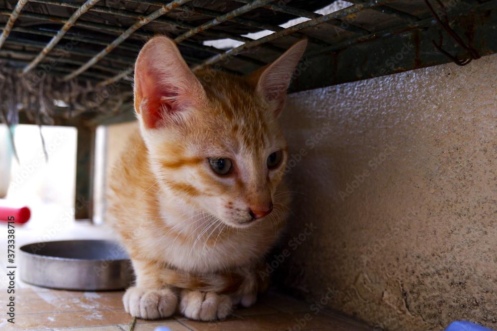 Closeup a cute domestic Arabian Mau cat