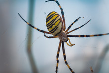 Closeup Of A Yellow Garden Spider On A Web With A Blurry Background
