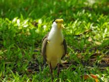 Masked Plover In Townsville,  Australia