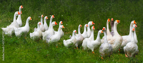 Valokuvatapetti Flock of domestic geese on a green meadow