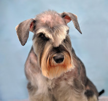Schnauzer Head Close Up After Trimming And Grooming In A Grooming Salon