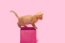 Small Orange Kitten Playing Mi...