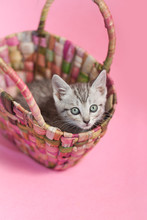 Gray Tabby Kitten Playing Inside Of A Woven Straw Purse, Pink Background.