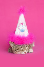 Brown Tabby Kitten Asleep Wearing A Cupcake Pink Birthday Hat With Pink Feathers, On Pink Background.
